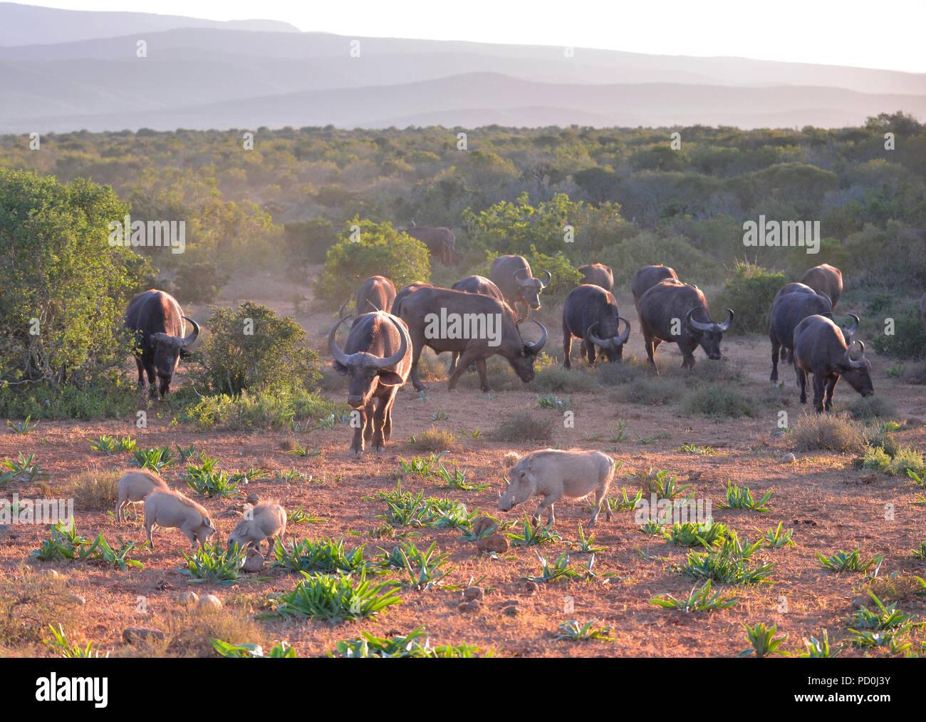 Südafrika. Büffelherde und Warzenschwein Familie friedlich zusammen im Addo Elephant National Park. Stockbild