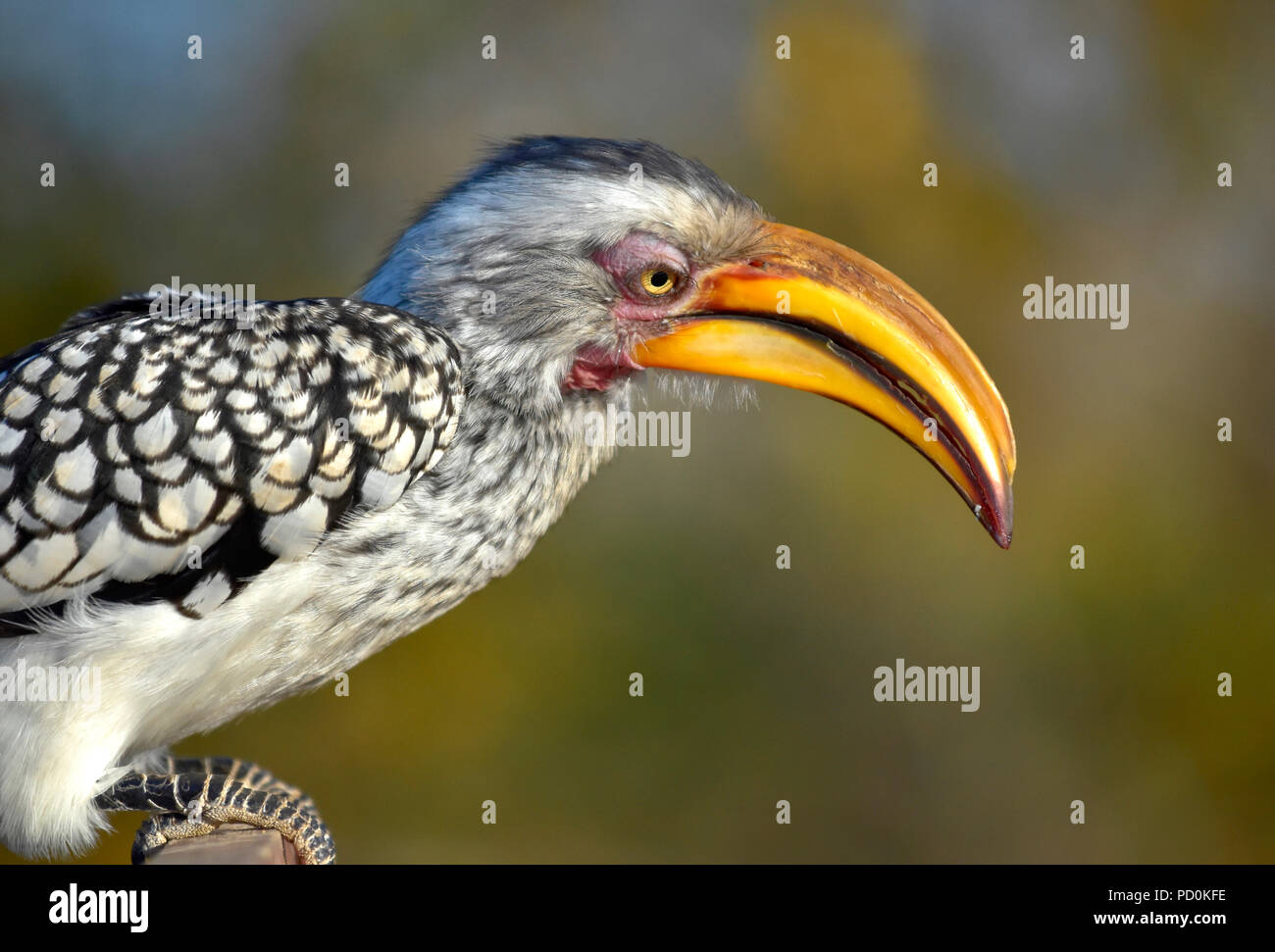 Südafrika, ein fantastisches Reiseziel Dritter und Erster Welt gemeinsam zu erleben. Yellow billed Hornbill nach Nahrung suchen. Close-up. Stockfoto