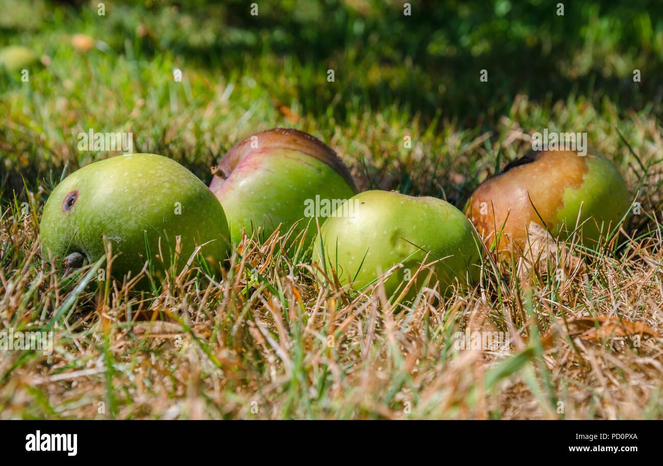 Fußboden Graß Essen ~ Windschlag Äpfel die aus einem apfelbaum liegen im gras gefallen