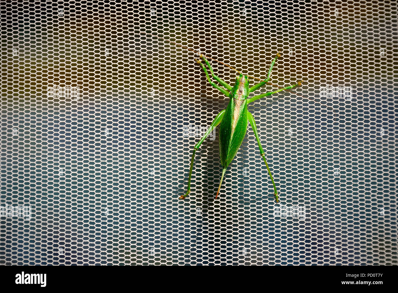 Große grüne Bush Cricket (Tettigonia Viridissima) Stockbild
