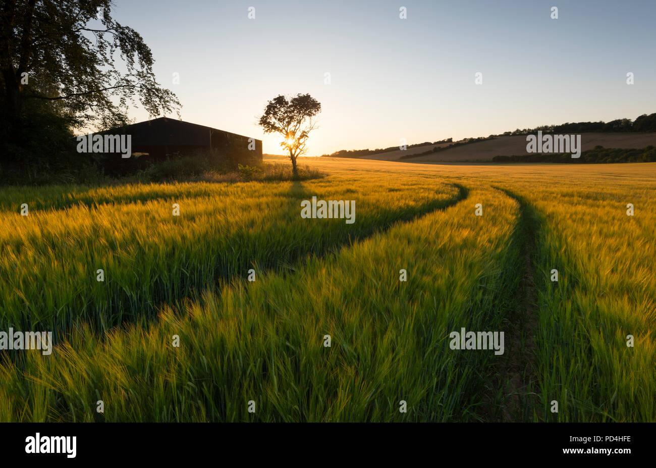 Eine idyllische Landschaft Szene; Traktor Linien in der Gerste Felder führen zu einem einsamen Baum neben einer Scheune bei Sonnenuntergang auf der Kent Downs AONB. Stockbild