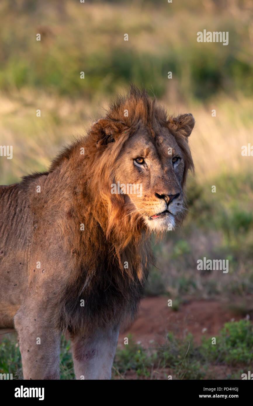 Männliche Löwe Panthera leo beleuchtet durch die niedrige Sonne in der Dämmerung Stockbild