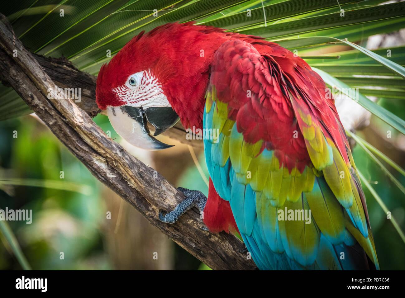 Eine bunte rot-grünen Ara (auch als Green-winged Macaw bekannt) im St. Augustine Alligator Farm Tierpark in St. Augustine, FL. (USA) Stockbild