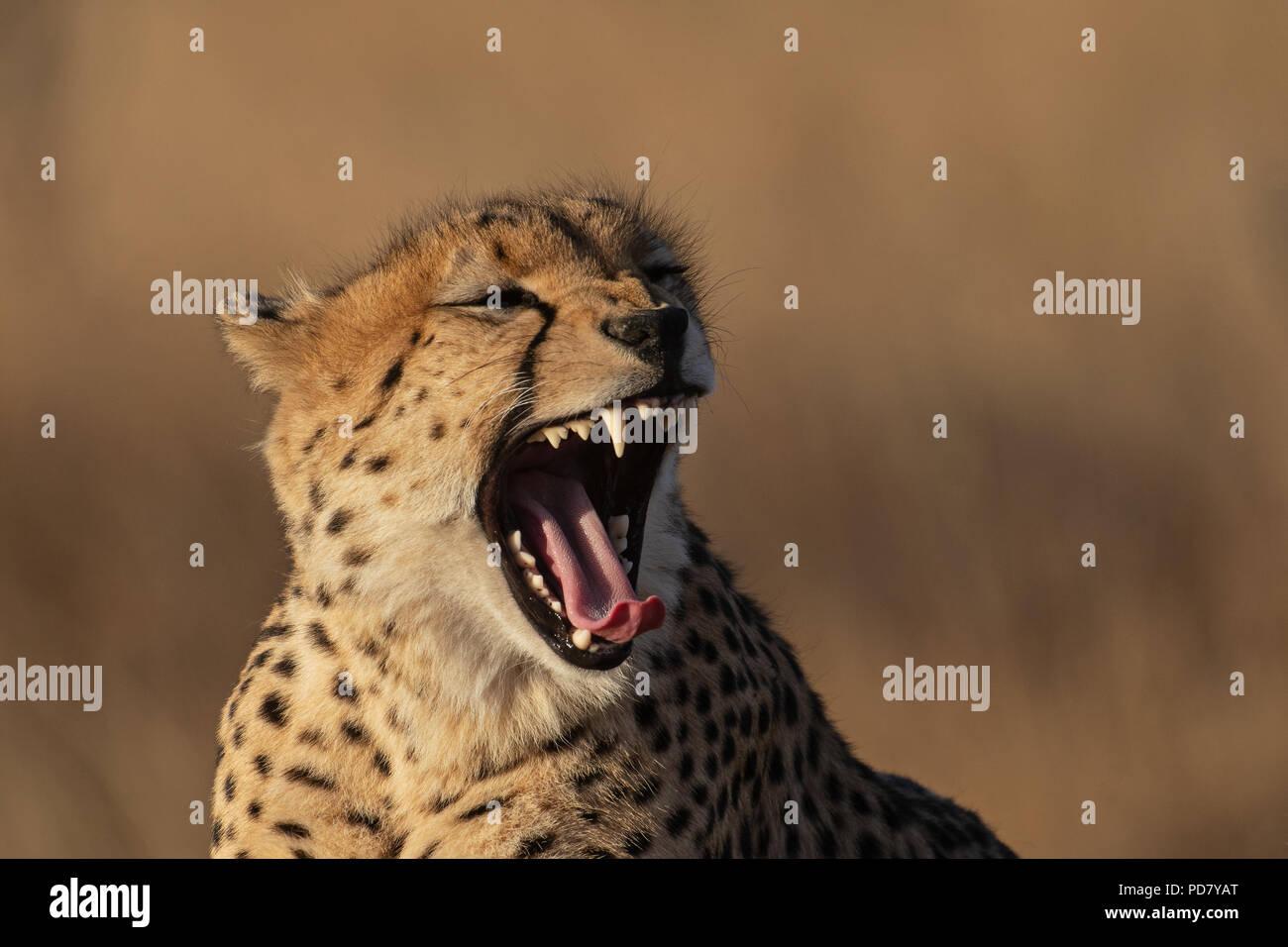 Gepard (Acinonyx jubatus) Gähnen im goldenen Abendlicht in Manyeleti Private Game Reserve, Teil des Krüger National Park Stockbild