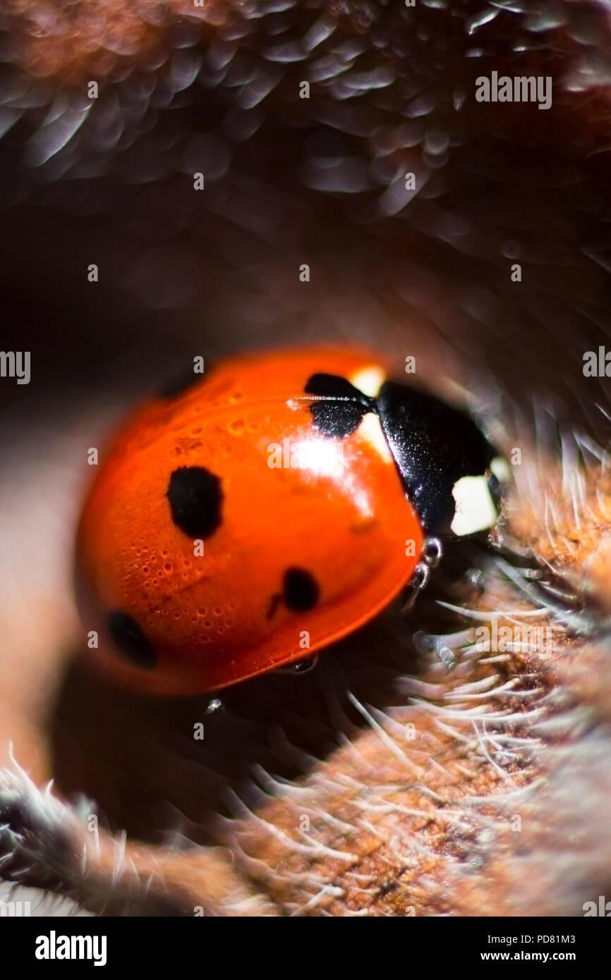Schöne rote Marienkäfer Glück Symbol für guten Glaubens Makro Nahaufnahme Stockbild