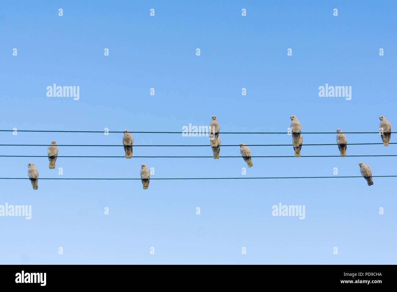 Kakadus auf die Stromleitungen Stockbild