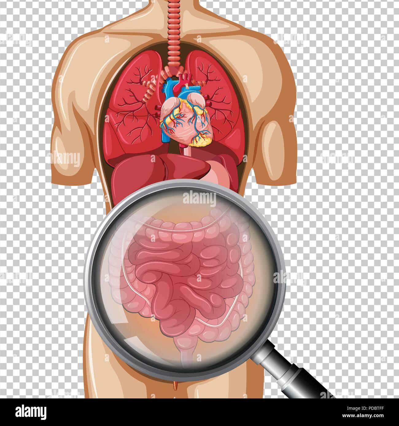 Die menschliche Anatomie des Darmes Abbildung Vektor Abbildung ...