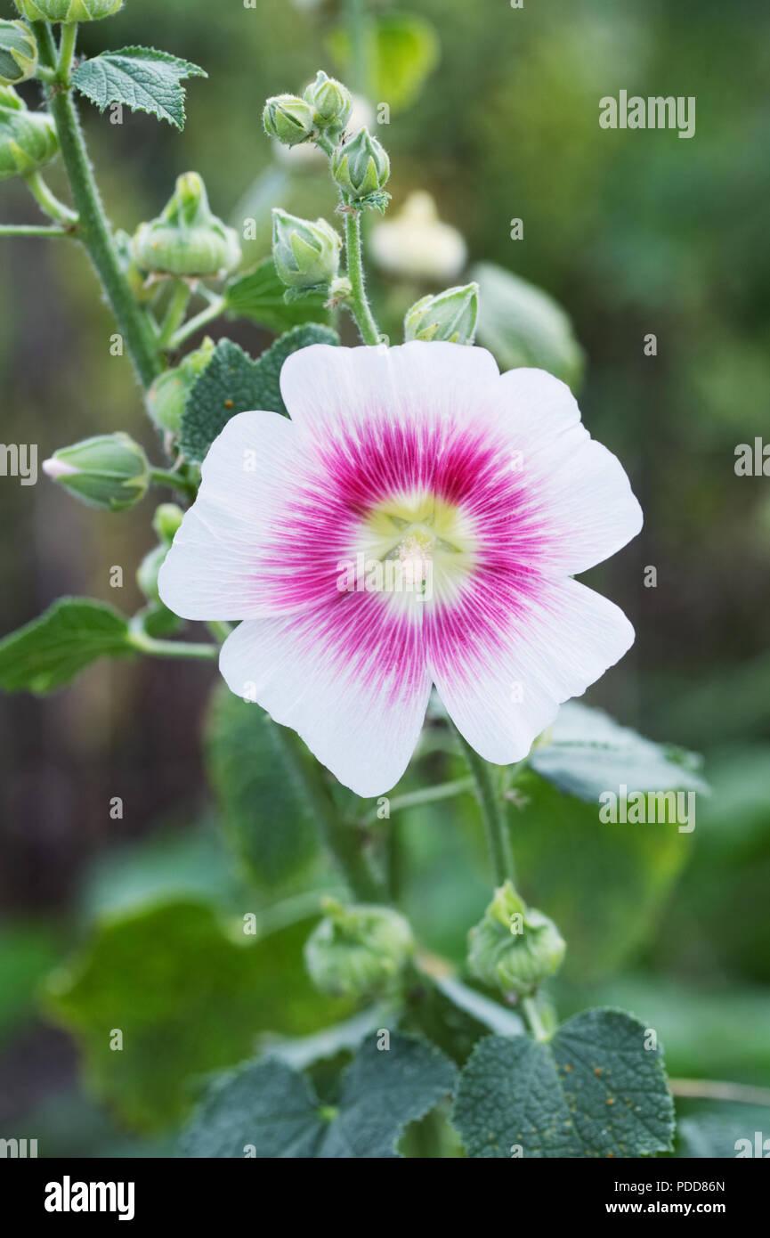 Alcea rosea 'Halo Blush'. Erröten Malve 'Halo' Blume. Stockbild