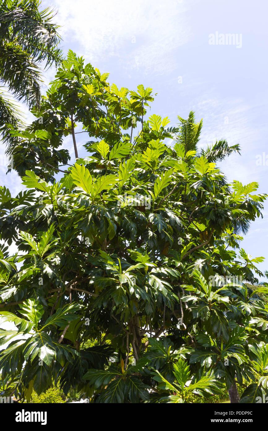 Die Reifen breadfruits hängen am Baum. Es gibt viele Brotfruchtbäume um. Stockbild