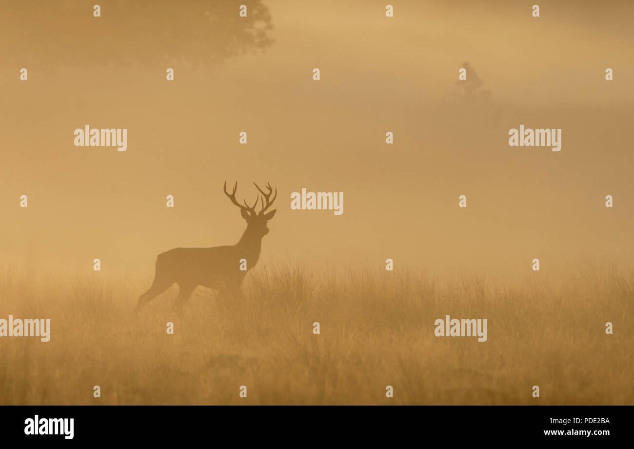 Red Deer Stag Richmond Park GROSSBRITANNIEN Stockbild