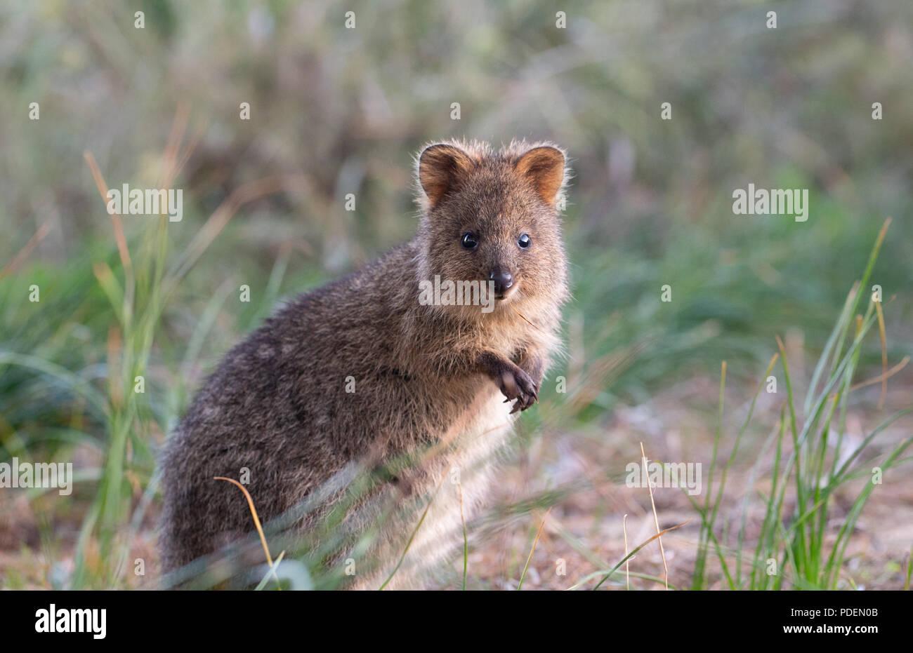 Quokka (Setonix Brachyurus) in den Wilden, Rottnest Island, Western Australia Stockbild
