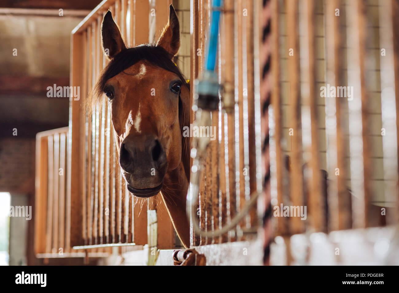 Sanfte schöne Racing Pferd stehend in berühmten geräumige stabil Stockbild