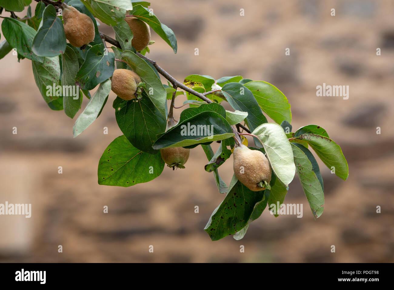 Ein Zweig der Baum - Quitte Cydonia oblonga - mit Obst Stockbild