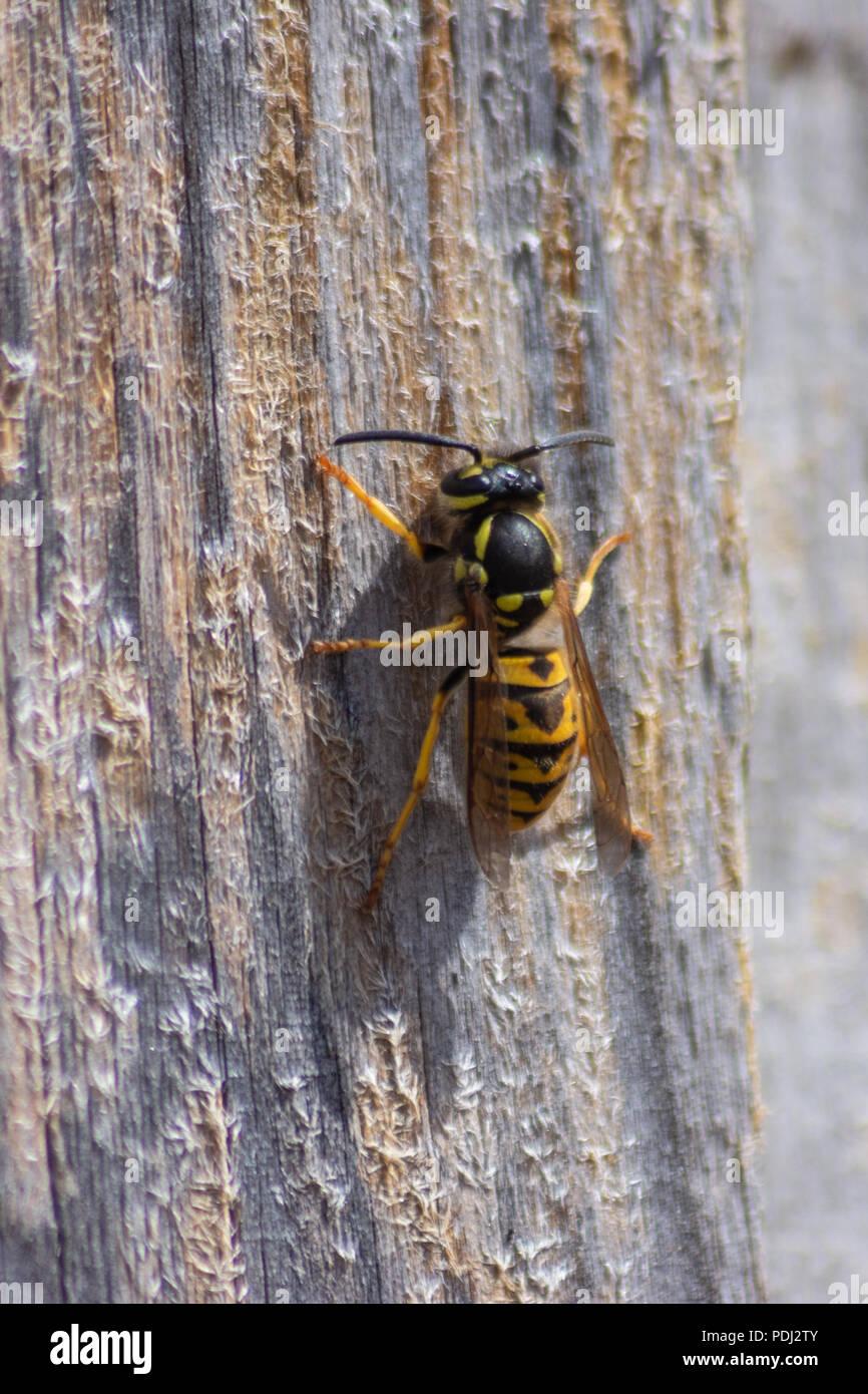 Gemeinsame Wespe Vespula vulgaris auf einer trockenen Holzzaun panel Kauen und sammeln Holz für Nestbau Stockbild