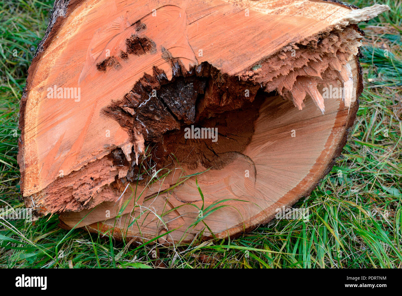 Gefaellter Baum mit krankem Kern, Stammquerschnitt, Braunfaeule, Baumschaden, Baumkrankheit Stockbild