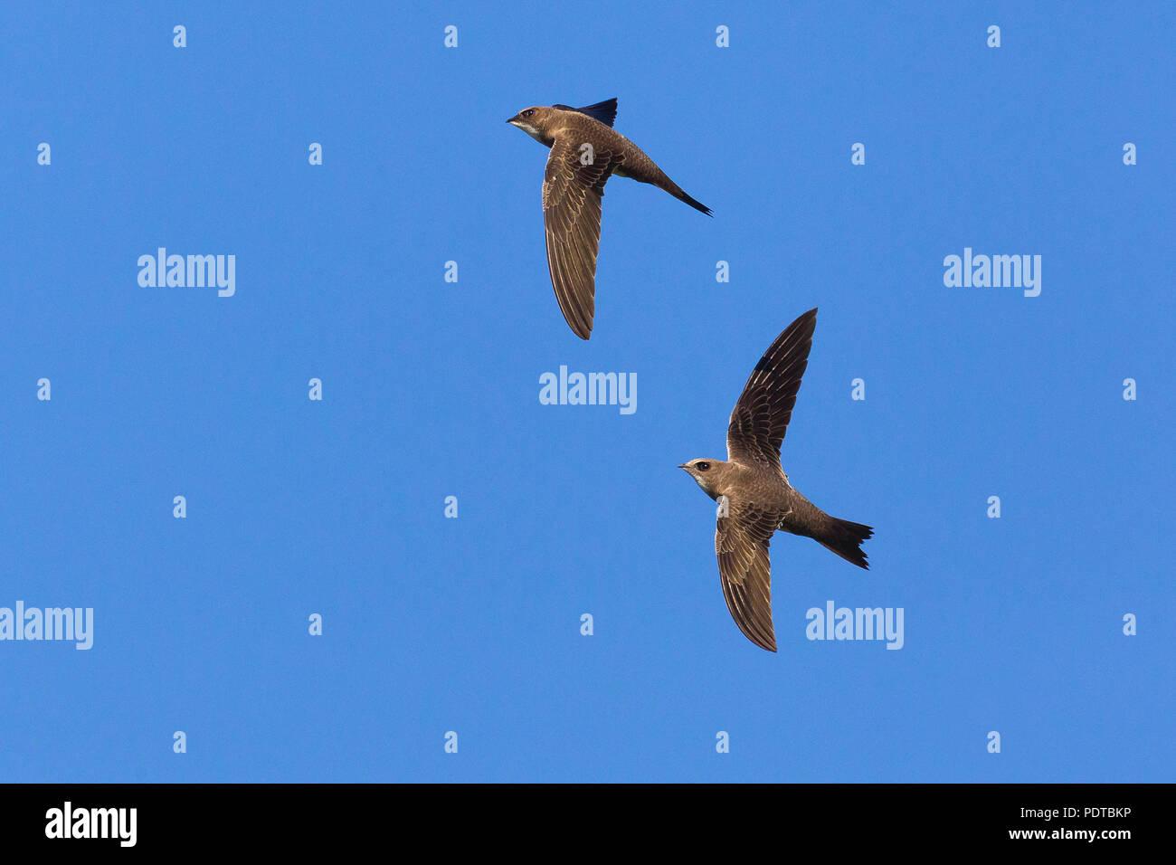 Zwei alpinen Swifts über einen blauen Himmel fliegen. Stockbild
