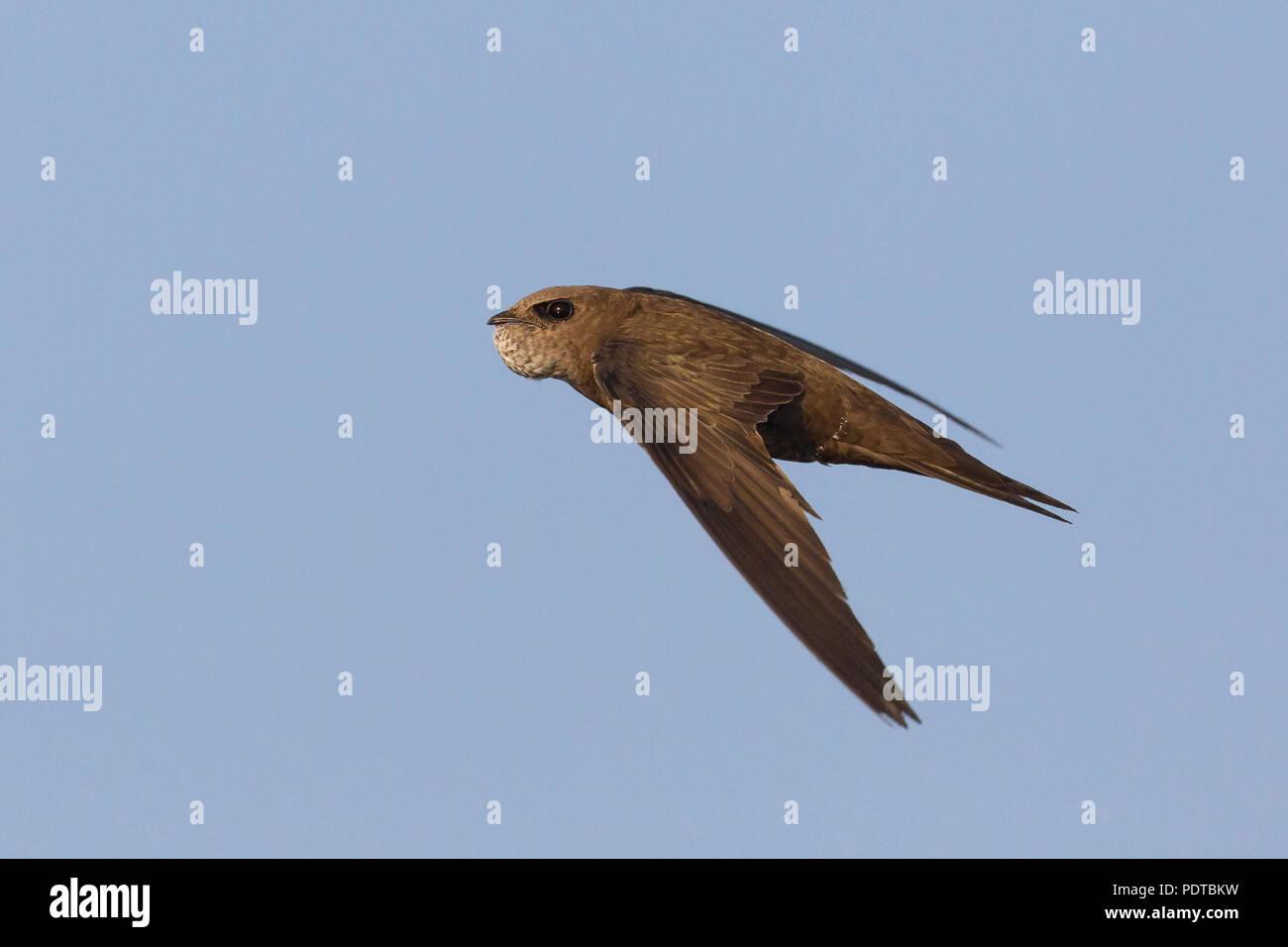 Blassen Swift fliegen. Stockbild