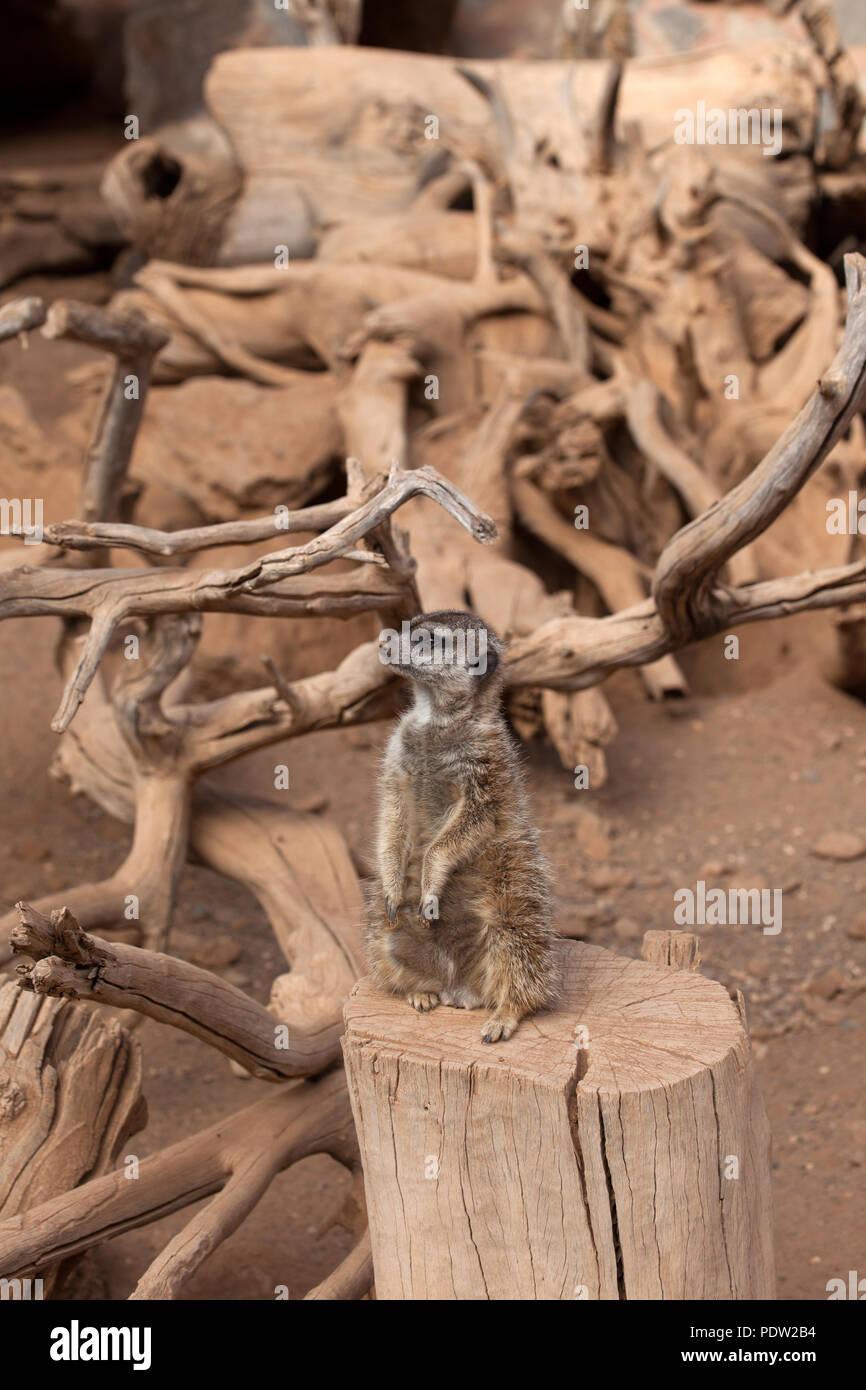 Erdmännchen für Gefahr suchen Stockbild