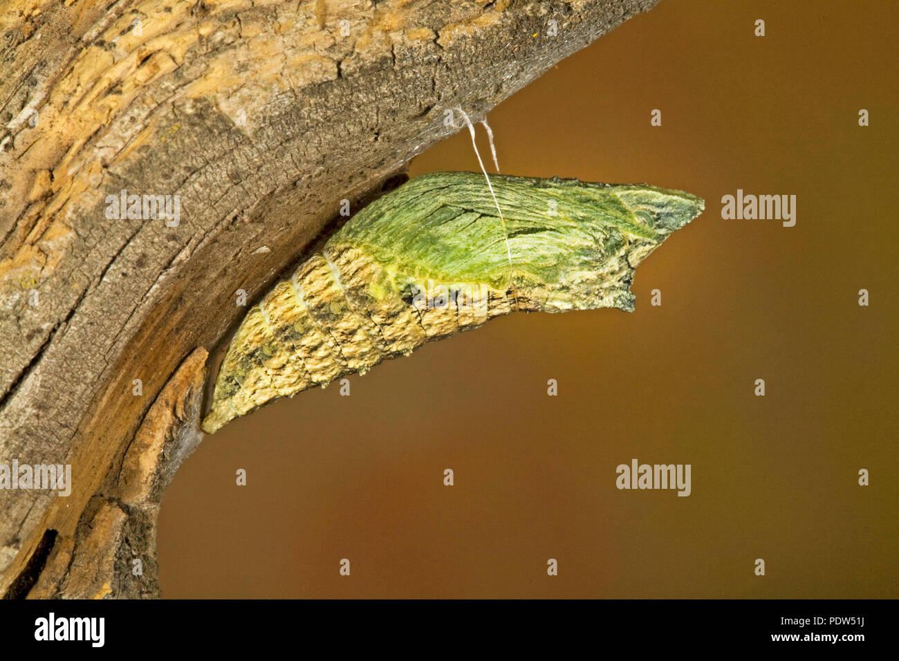Die chrysalis Stufe eines Anis Schwalbenschwanz Schmetterling Raupe, Papil, silked zu einem Baum, in der Cascade Mountains der zentralen Oregon. Stockbild