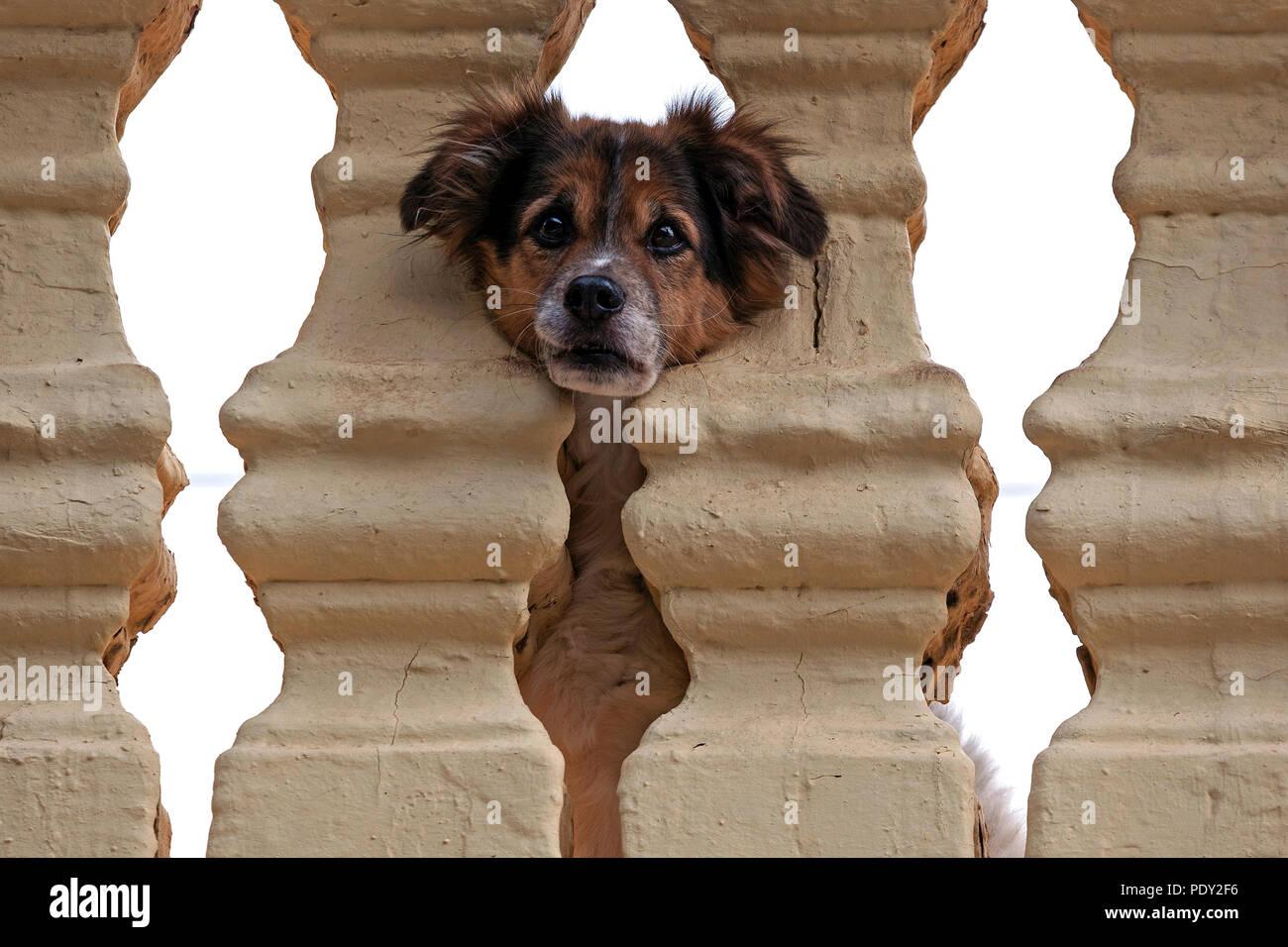 Kleiner Hund pokes Kopf durch die Balustrade, Agüimes, Gran Canaria, Kanarische Inseln, Spanien Stockbild