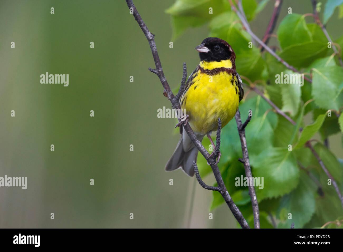 Männliche Yellow-breasted Bunting; Emberiza aureola Stockbild