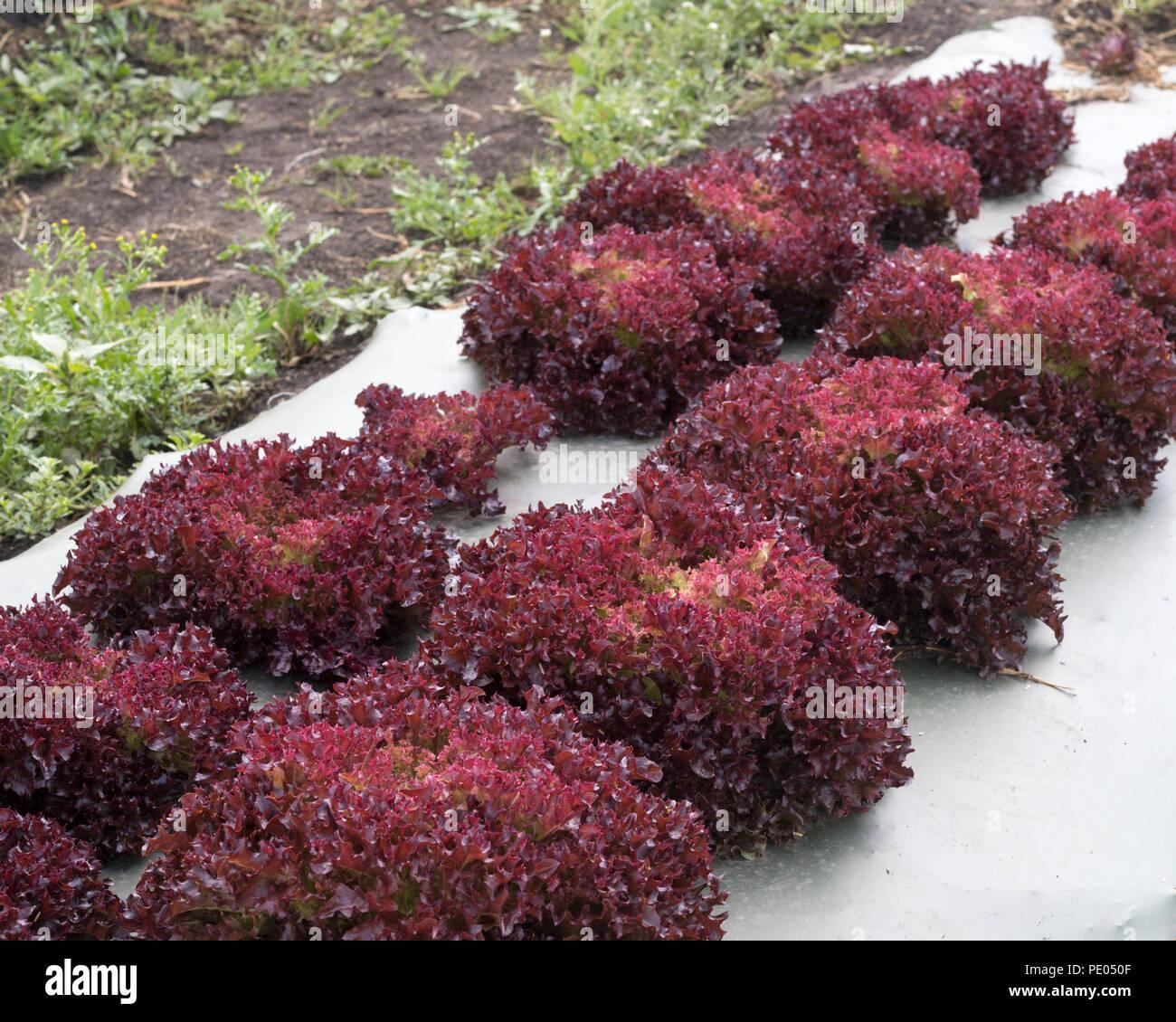 Rote eiche Kopfsalat in Bauernhof Feld. Die Kunststoffabdeckung über dem Boden verhindert Unkrautbewuchs und schont die Feuchtigkeit. Stockbild