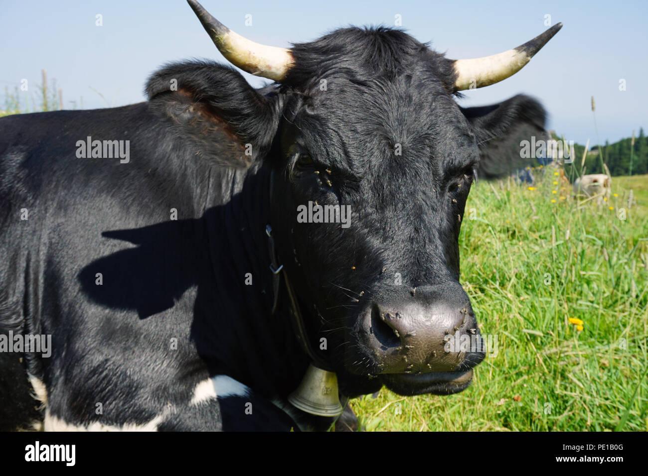 Schwarze Kuh im Sommer Sonne Stockbild