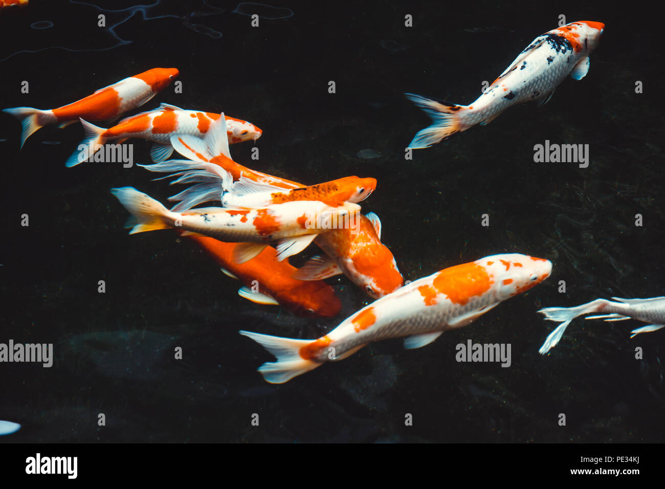 Koi Fish Illustration Stockfotos & Koi Fish Illustration Bilder ...