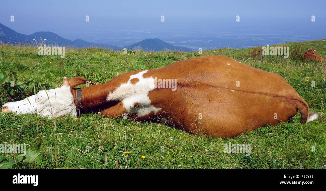 Schlafen braun weisse Kuh an der Wiese Stockbild