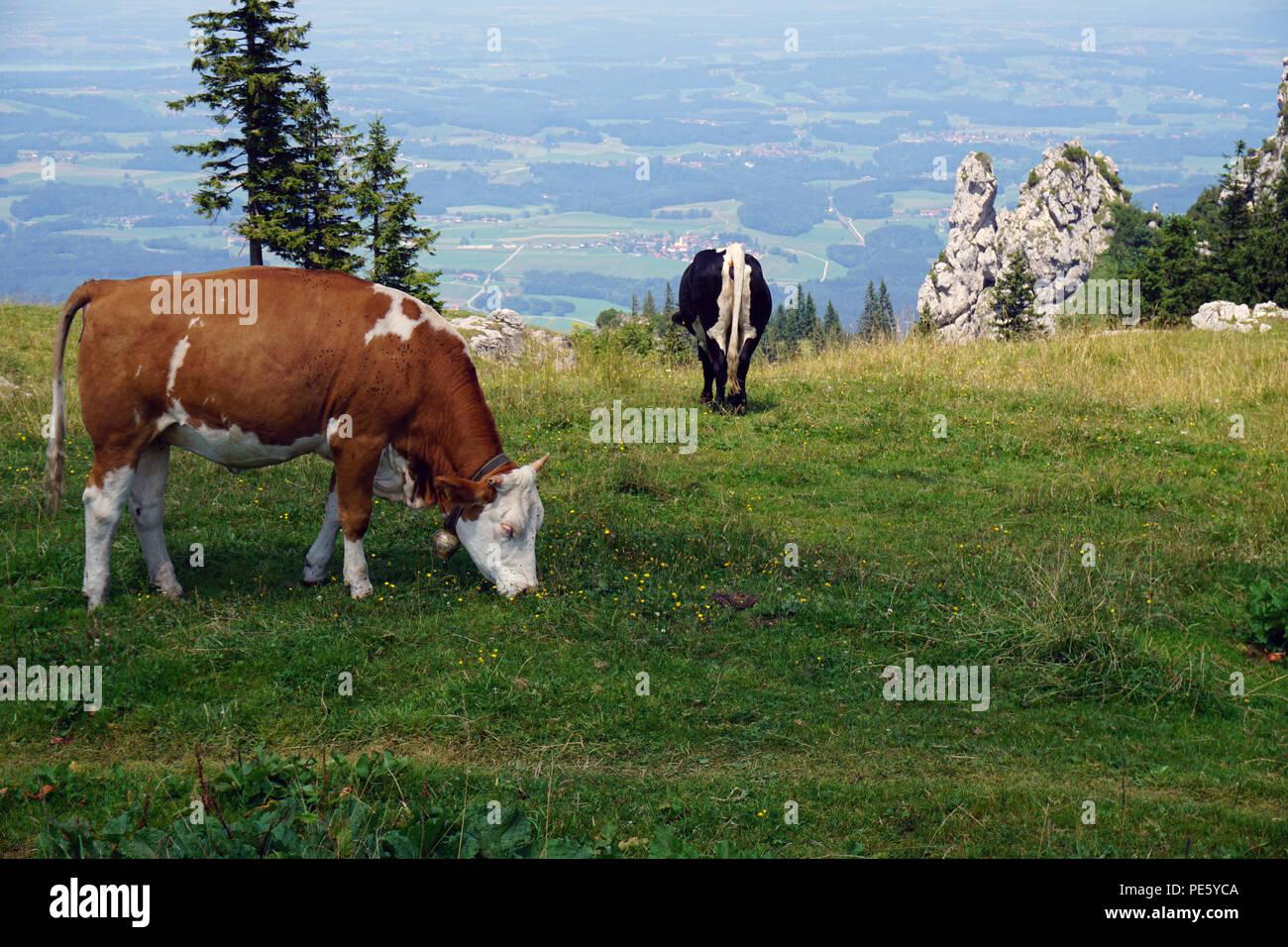 Brwon weiße und schwarze Kuh an der Wiese Stockbild