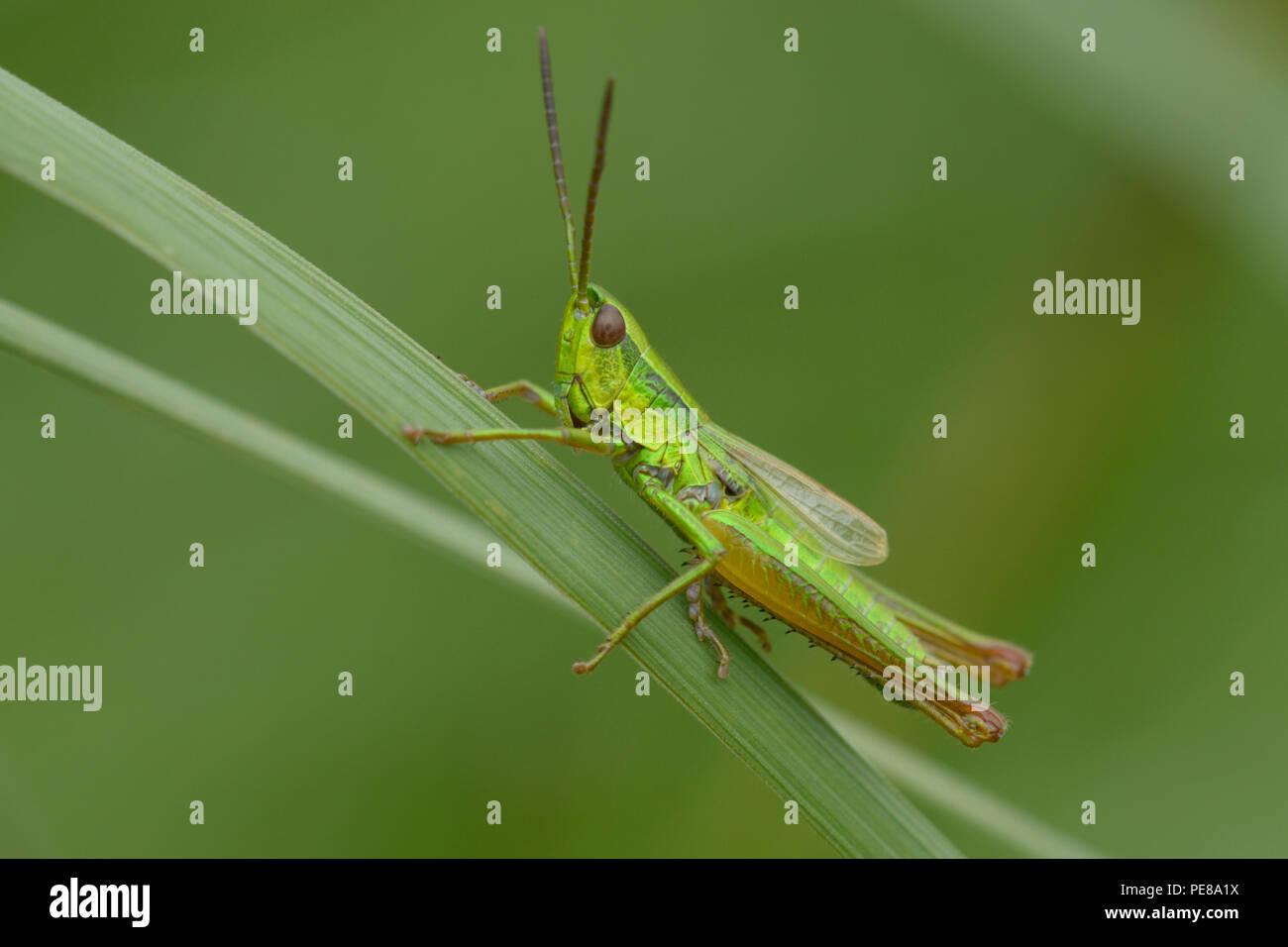 Grüne Heuschrecke sitzt auf einem Gras Stammzellen vor einem unscharfen Hintergrund. Firma Lugi, Karpaten, Ukraine, Juni, 2018 Stockbild