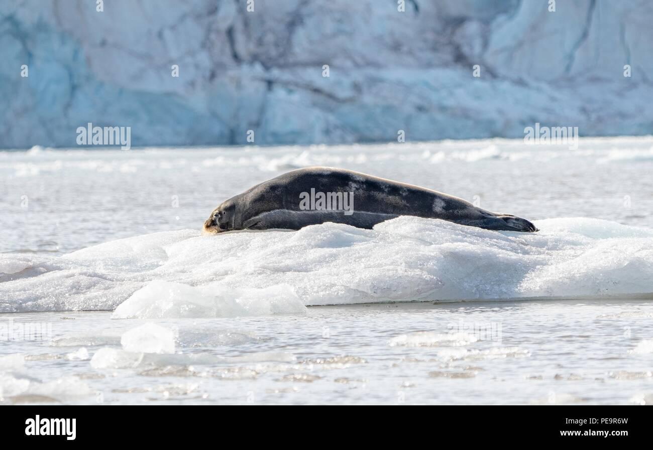 Ein bärtiger Dichtung liegt entspannt auf dem Eis vor einem Gletscher in Ekmanfjorden Svalbard Stockbild