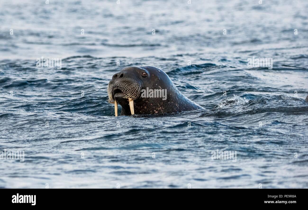 Walross kommt das zodiak Boot schwimmen von Land und im arktischen Meer um Erscheinen zu untersuchen Stockfoto