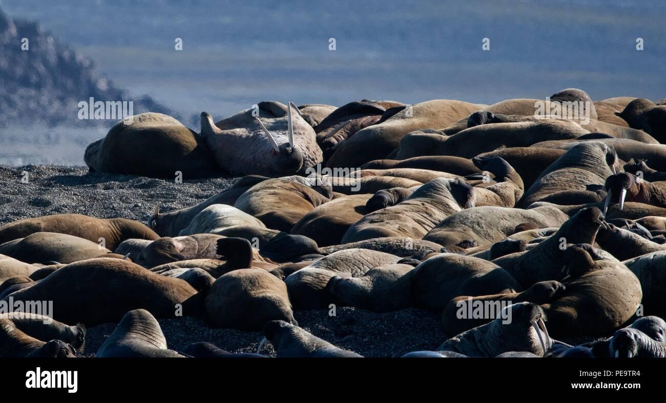Ein Haufen von walross Relaxen am Strand Svalbard Norwegen Stockbild