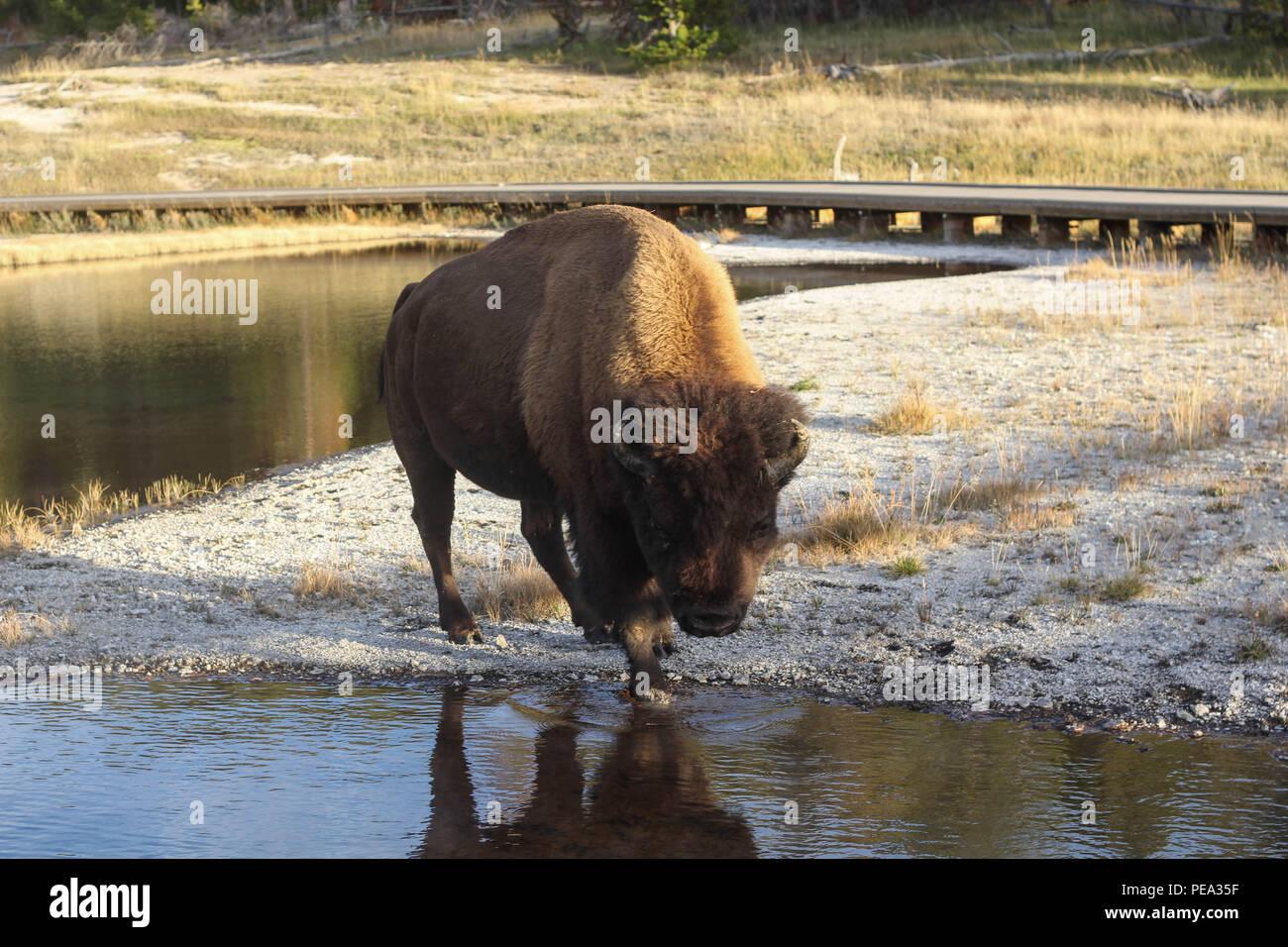 Tierwelt Natur Outdoor Fotografie enorme Single Bison Buffalo Bull Ungulate Säugetier gehen mit Reflexion im Wasser Yellowstone National Park USA Stockbild