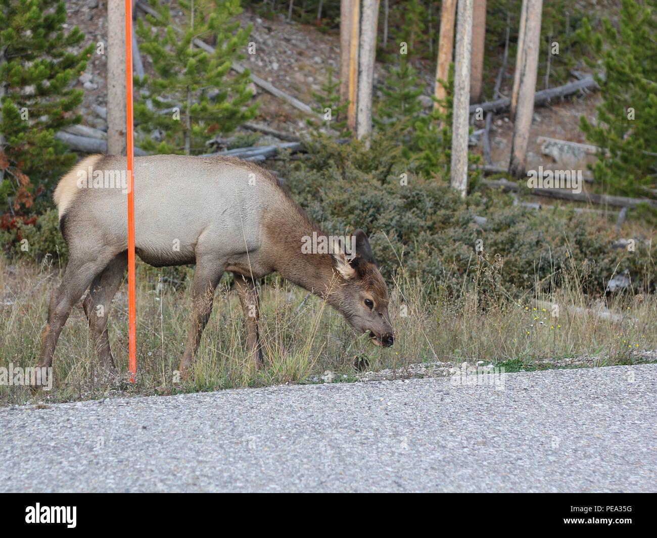 Tierwelt Natur Fotografie Single Elk Säugetier Spiel Cervus canadensis Yellowstone die Häufigste Ungulate Beweidung grünen Wald im Hintergrund Stockbild