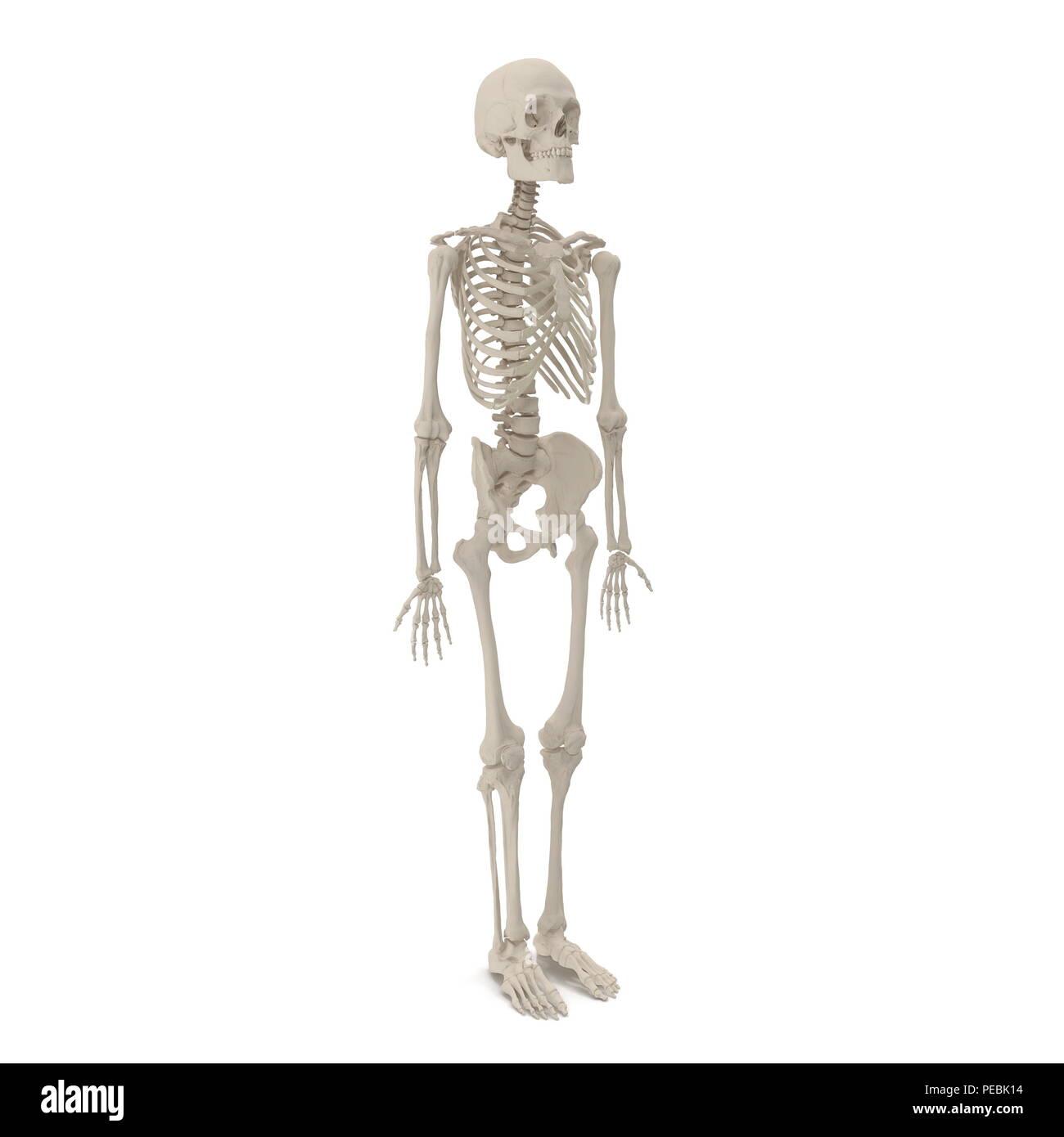 Human Skeletons Hand Stockfotos Human Skeletons Hand Bilder