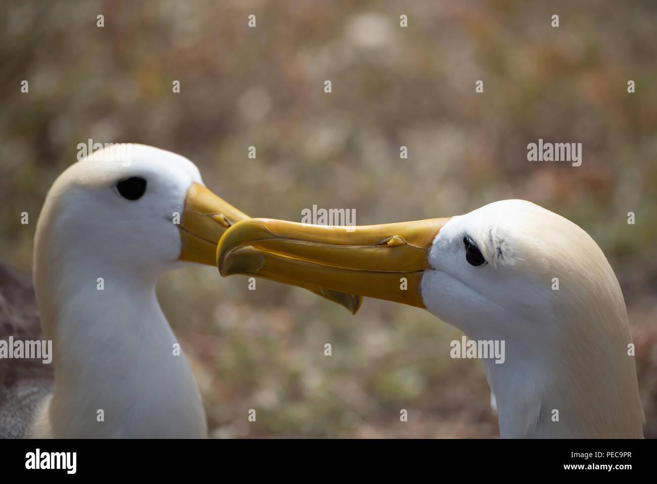 Winkte Albatross Umwerbung Stockbild