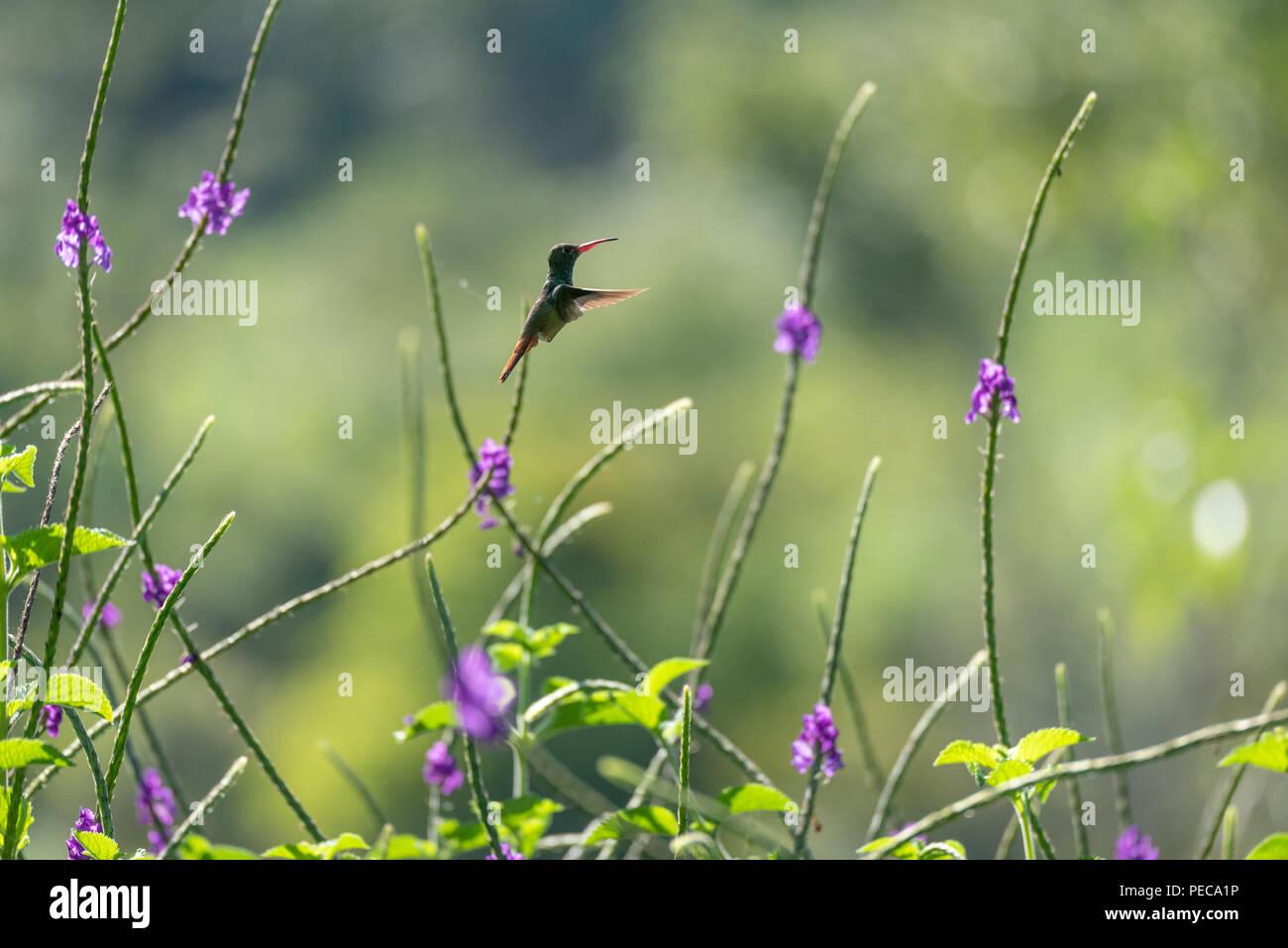 Hummingbird im Flug unter blauen Blüten, Nebelwald Mindo, Ecuador Stockbild