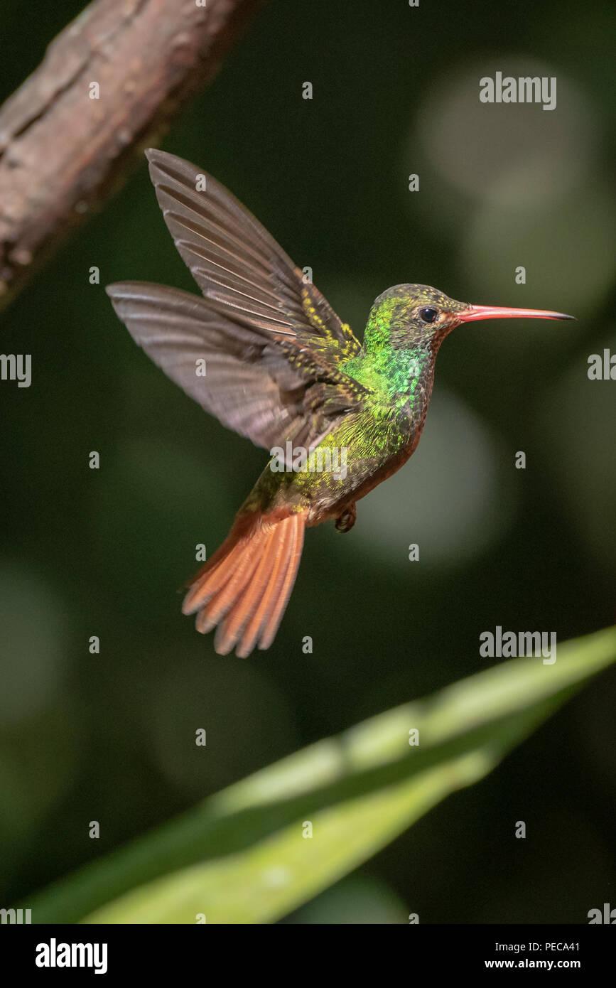 Hummingbird im Flug, Nebelwald Mindo, Ecuador Stockbild