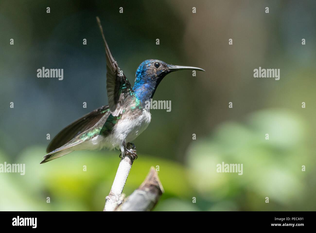 Hummingbird, die aus einem Zweig, Nebelwald Mindo, Ecuador Stockbild