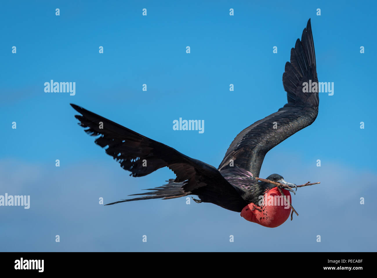 Prachtvolle Fregatte Vögel im Flug Stockbild