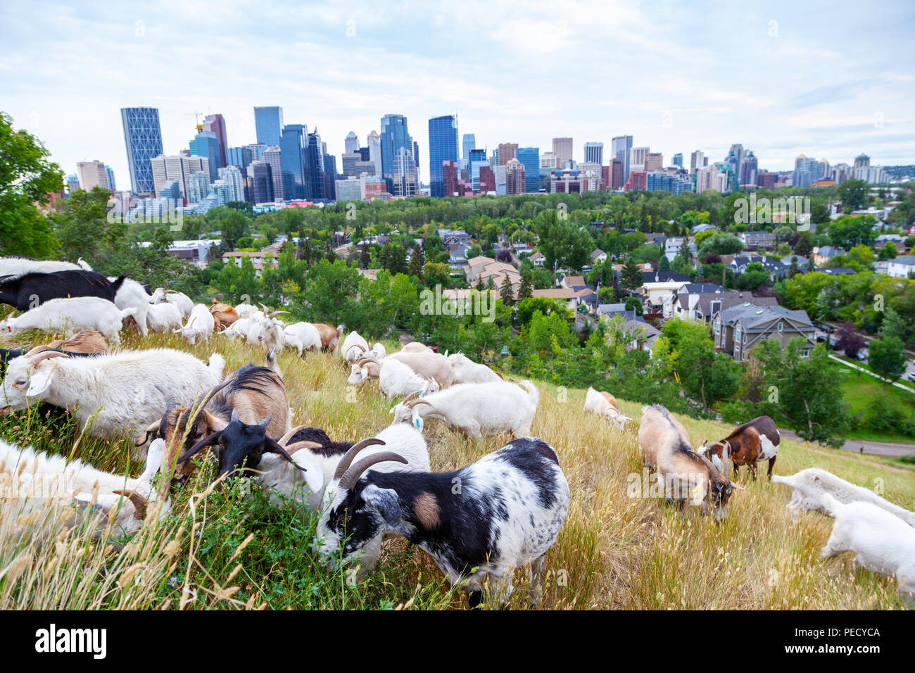 Ziegen fressen Unkraut in einem Calgary Park als Teil der gezielten Beweidung der Plan der Stadt für invasive Unkräuter Management mit umweltfreundlichen friendl Stockbild