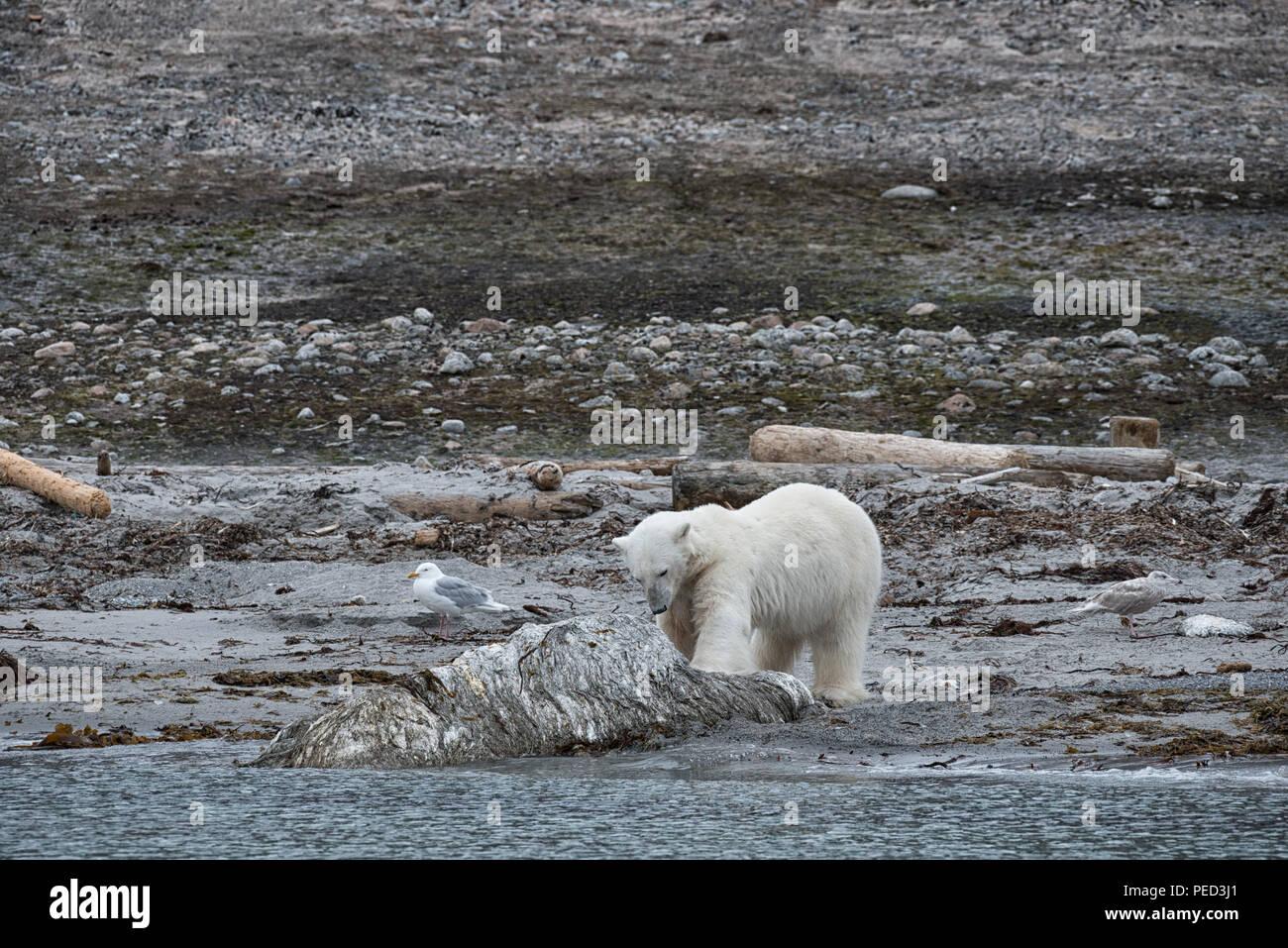 Phippsøya, Svalbard, Juli 2018. An dieser Stelle drei Wochen später ein Eisbär erschossen wurde und nach dem Angriff auf und Verletzt ein Kreuzfahrtschiff guard getötet. Stockbild