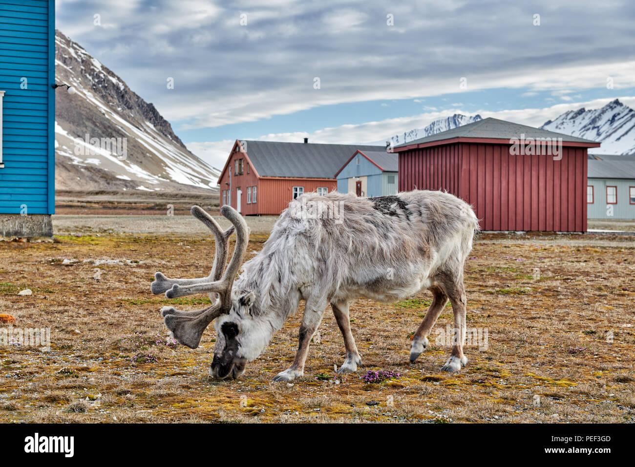 Svalbard Rentier (Rangifer tarandus platyrhynchus) in der Stadt von Ny-Ålesund, Spitzbergen oder Spitzbergen, Europa Stockbild