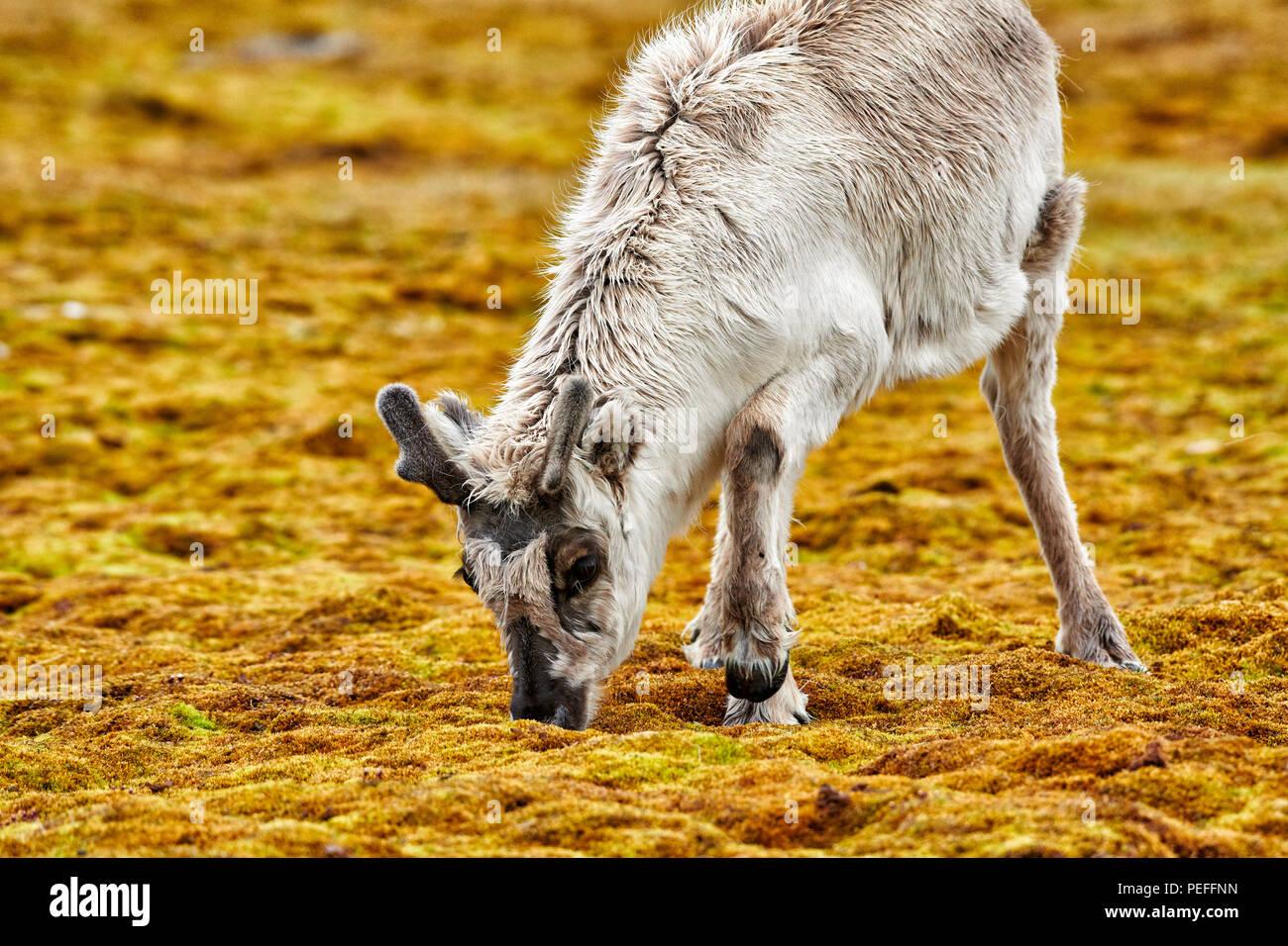 Neugierige junge Svalbard Rentier (Rangifer tarandus platyrhynchus) oder Spitzbergen, Svalbard, Europa Stockfoto