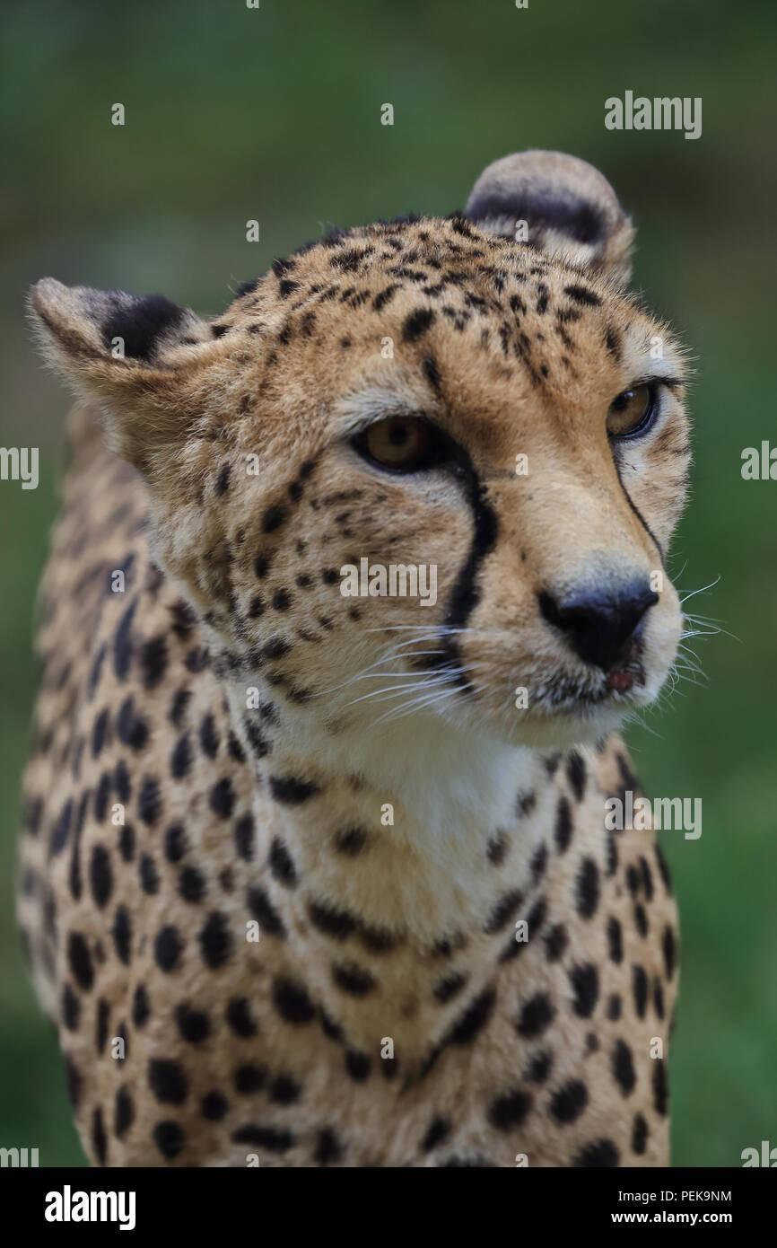 Cheetah große wilde Katze Stockbild