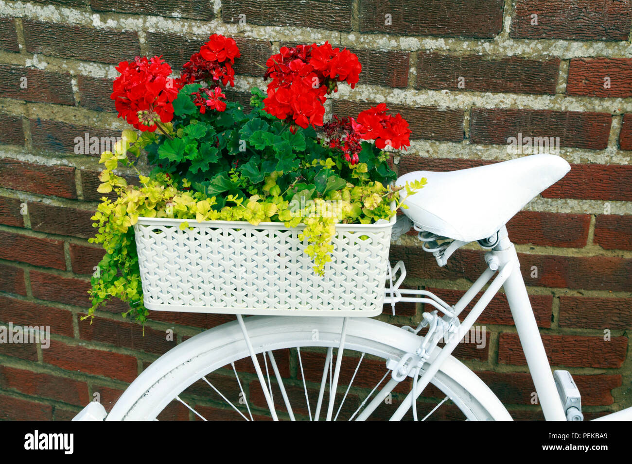 Hunstanton in voller Blüte, ungewöhnliche Pflanze Container, weiß lackiert, Fahrradverleih, Bettwäsche Pflanzen Stockbild