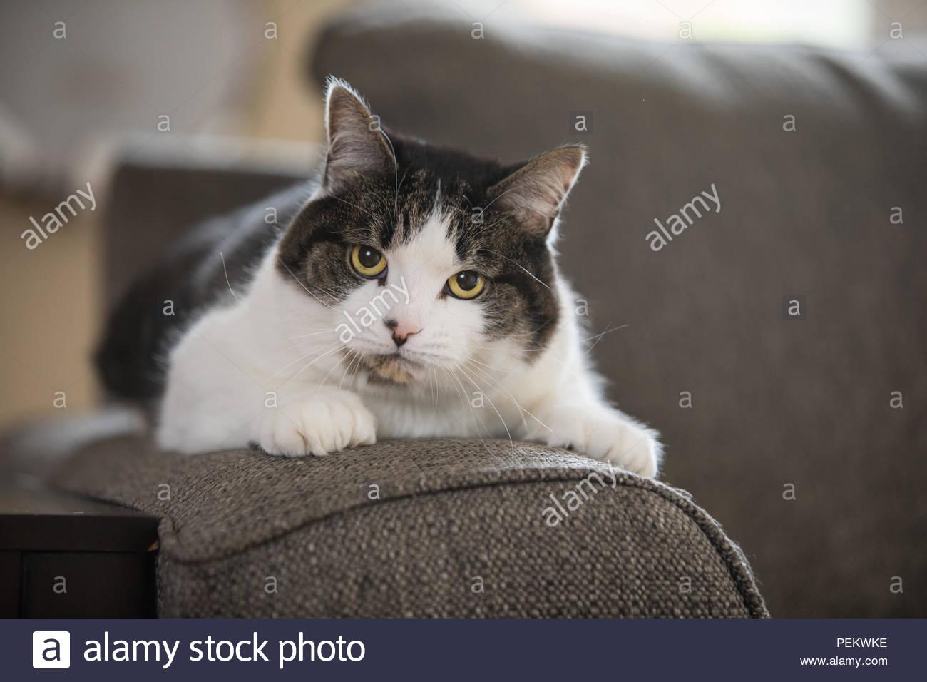 Grau und Weiß tabby Mischung mit gelben Augen starrte angestrengt viewe beim Liegen auf dem Sofa arm Stockbild