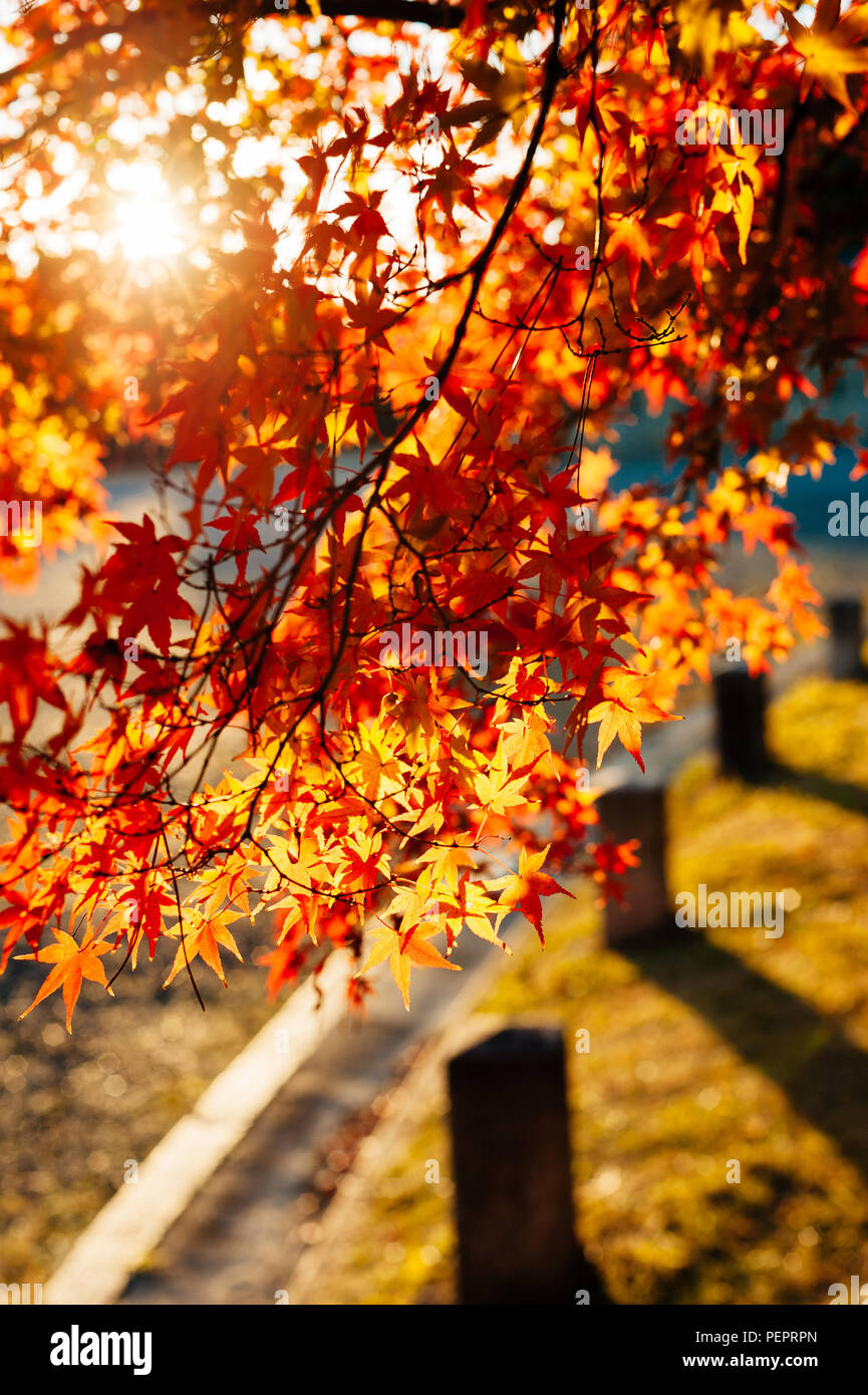 Bl tter im herbst und die bl tter fallen der wald im herbst herbstfarben rote und goldene - Garten baum fallen ...